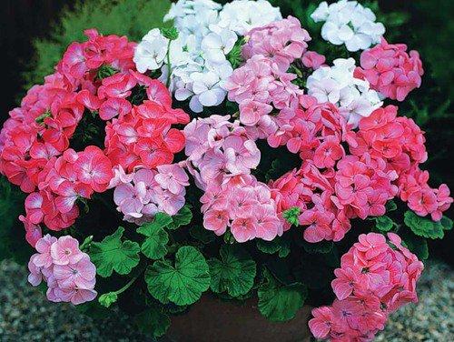 Герань – цветок, который врачует