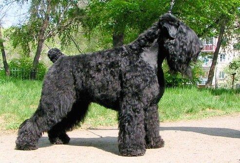 «Черныш» или «собака Сталина»